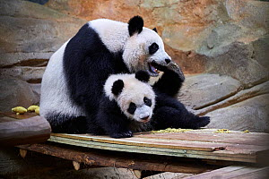 Giant panda  (Ailuropoda melanoleuca). female Huan Huan playing with her cub Yuan Meng, first giant panda ever born in France, age 10 months, Captive at Beauval Zoo, Saint Aignan sur Cher, France - Eric Baccega