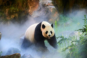 Giant panda (Ailuropoda melanoleuca) female, Huan Huan, out in her enclosure in mist, Captive at Beauval Zoo, Saint Aignan sur Cher, France. The mist is created artificially by machine, in order to cr...  -  Eric Baccega