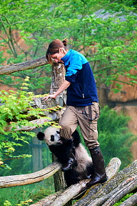 Giant panda (Ailuropoda melanoleuca) cub captive, wants to play with keeper. Yuan Meng, first giant panda ever born in France,  age 10 months, Captive at Beauval Zoo, Saint Aignan sur Cher, France - Eric Baccega