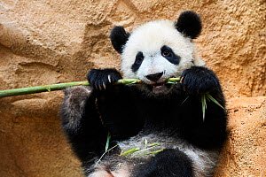 Giant panda (Ailuropoda melanoleuca) cub playfuly chewing a bamboo stick. Yuan Meng, first giant panda ever born in France, is now 10 months old and still feeds on his mother's milk, Captive at Beauva... - Eric Baccega