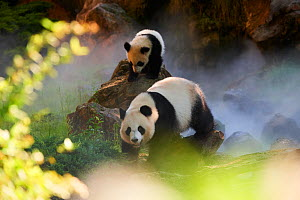 Giant panda  (Ailuropoda melanoleuca) Huan Huan and her cub out in their enclosure in mist.Yuan Meng, first giant panda ever born in France,age 10 months, Captive at Beauval Zoo, Saint Aignan sur Cher... - Eric Baccega