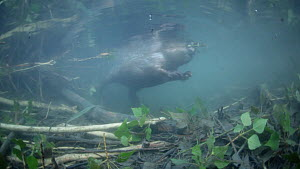 European beaver (Castor fiber) swimming underwater, above branches and foliage stored for eating later. River Rhone, Rhone-Alpes, France, June.  -  Remi Masson