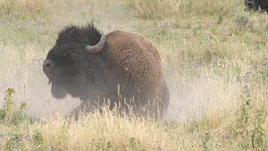 American bison (Bison bison) dust bathing, Yellowstone National Park, Wyoming, USA, August.  -  Jim Manthorpe