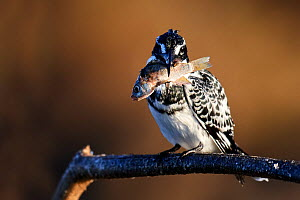 Pied kingfisher (Ceryle rudis) perched on a branch with fish prey. Baringo lake. Kenya.  -  Eric Baccega