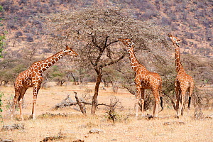 Reticulated giraffes (Giraffa camelopardalis reticulata) feeding on acacia tree, Samburu National Reserve, Kenya. - Eric Baccega