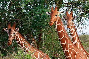 Three reticulated giraffe (Giraffa camelopardalis reticulata) head and necks, Samburu National Reserve, Kenya. - Eric Baccega