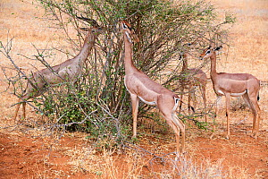 Group of Gerenuk (Litocranius walleri) feeding on leaves, Samburu National Reserve, Kenya.  -  Eric Baccega