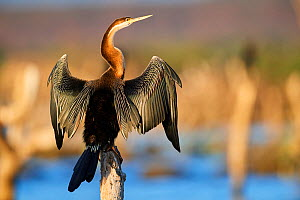 African darter (Anhinga rufa) drying its wings on mangrove tree. Baringo Lake. Kenya. - Eric Baccega