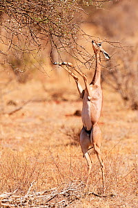 Gerenuk (Litocranius walleri) female  standing on hindlimbs to feed on leaves, Samburu National Reserve, Kenya.  -  Eric Baccega