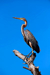 Purple heron (Ardea purpurea) perched on branch. Baringo lake, Kenya.  -  Eric Baccega