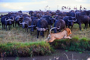 African lion (Panthera leo) male escaping from charging Cape buffalo herd (Syncerus caffer caffer), Masai Mara National Reserve, Kenya. Sequence 8 of 13. The lion along with a lioness had killed a buf...  -  Eric Baccega