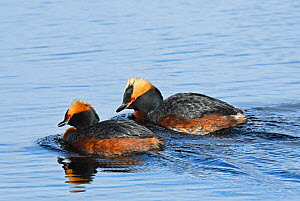 Pair of Slavonian / Horned grebes (Podiceps auritus) swimming and calling in tandem as part of their courtship display. Kolvik, Porsanger, Finmark, Norway  -  Roger Powell