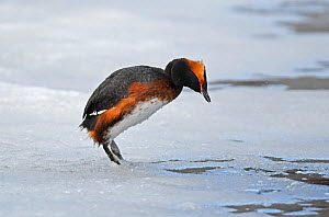Slavonian / Horned Grebe (Podiceps auritus) male calling excitedly while standing on the ice and looking down anxiously for signs of the dominant territorial male which has driven it to escape onto th...  -  Roger Powell