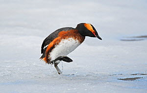 Slavonian / Horned Grebe (Podiceps auritus) male escaping by walking across the iced surface of the lake after being driven off by the dominant male holding territory. It is extremely rare for grebes...  -  Roger Powell