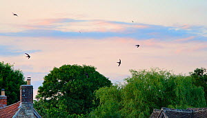 Common swift (Apus apus) screaming as they fly in formation over cottage roofs at dusk, Lacock, Wiltshire, UK, June 2018.  -  Nick Upton