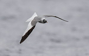 Sabine's gull Larus sabini), adult in flight, Finland, September - Jussi  Murtosaari