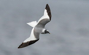 Sabine's gull (Larus sabini), adult in flight, Finland, September - Jussi  Murtosaari