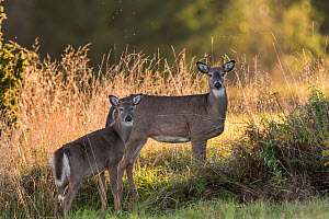 White-tailed deer (Odocoileus virginianus),  mother and fawn, Finland. Introduced species. - Jussi  Murtosaari