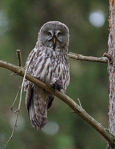 Great grey owl (Strix nebulosa), with prey,  European mole Talpa europaea), Finland, September - Jussi  Murtosaari
