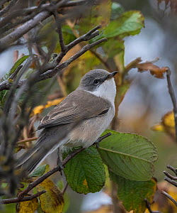 Lesser whitethroat (Sylvia curruca),  Finland, September  -  Jussi  Murtosaari