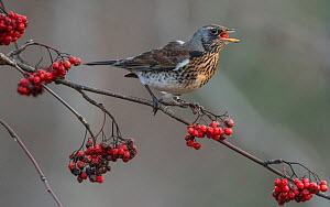 Fieldfare (Turdus pilaris)feeding on  Rowan tree berries (Sorbus aucuparia), Finland, November. - Jussi  Murtosaari