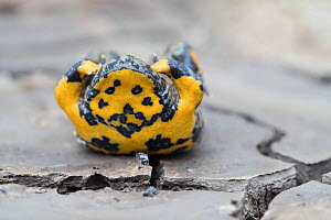 Yellow-bellied toad (Bombina variegata) in defensive posture showing warning colours, on dried soil with mud cracks, Weser Hills, Lower Saxony, Germany. August.  -  Kerstin  Hinze