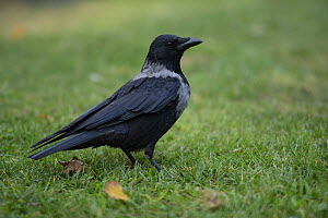 Hooded crow (Corvus cornix) standing on grass, Vienna, Austria. October.  -  Kerstin  Hinze