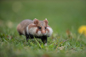 European Hamster (Cricetus cricetus), adult running with full cheek pouches, Vienna, Austria. October. - Kerstin  Hinze