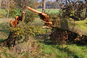 Oak tree (Quercus robur) with broken trunk, blown down during a storm , Lower Saxony, Germany. November 2017. - Kerstin  Hinze