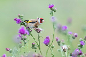 European Goldfinch (Carduelis carduelis), feeding on thistles, Braunschweig, Lower Saxony, Germany. July. - Kerstin  Hinze