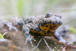 Yellow-bellied toad (Bombina variegata), adult, Weser Hills, Lower Saxony, Germany. August.  -  Kerstin  Hinze