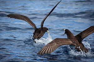 Black petrels (Procellaria parkinsoni) fight over food scraps left behind by False killer whales (Pseudorca crassidens ) Northern New Zealand Editorial use only.  -  Richard Robinson