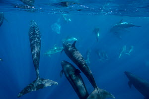 False killer whales (Pseudorca crassidens) traveling with a pod of pelagic Bottlenose dolphins (Tursiops truncatus)  Northern New Zealand Editorial use only.  -  Richard Robinson