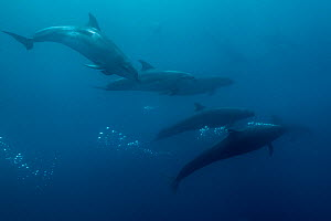 False killer whales (Pseudorca crassidens) travelling with a pod of pelagic Bottlenose dolphins (Tursiops truncatus)  Northern New Zealand Editorial use only.  -  Richard Robinson