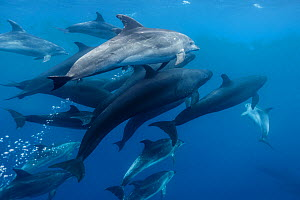 False killer whales (Pseudorca crassidens) travelling with a pod of pelagic Bottlenose dolphins (Tursiops truncatus)  Northern New Zealand - Richard Robinson