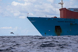 Pelagic Bottlenose dolphin (Tursiops truncatus ) rides the bow of a Maersk container ship,  Northern New Zealand Editorial use only.  -  Richard Robinson