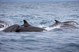 False killer whales (Pseudorca crassidens) traveling with a pod of pelagic Bottlenose dolphins (Tursiops truncatus), Northern New Zealand Editorial use only.  -  Richard Robinson