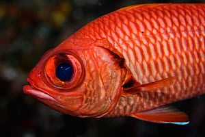 Bigscale Soliderfish (Myripristis berndti) also known as the Blotcheye soldierfish at Hunter Island, also known as Fern or Fearn Island a disputed territory in the South Pacific between New Caledonia...  -  Richard Robinson