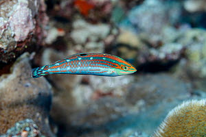 Ornate Wrasse (Halichoeres ornatissimus) female at Walpole Island, New Caledonia.  -  Richard Robinson