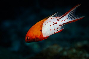 Lyretail hogfish (Bodianus anthioides) at Namuka-i-Lau Island lagoon, Lau Island Group, Fiji.  -  Richard Robinson