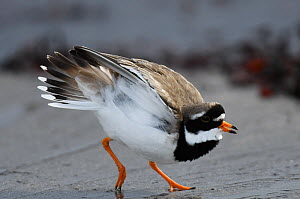 Ringed Plover (Charadrius hiaticlua) calling and territorially displaying on the tideline. Langbuness, Varanger Fjord, Finnmark, Norway  -  Roger Powell