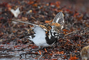 Ruddy turnstone (Arenaria interpres) flapping wings after bathing in a shoreline pool. Langbuness, Varanger fjord, Finnmark, Norway  -  Roger Powell