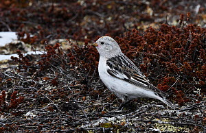Snow bunting (Plectrophenax nivalis) female in feeding area at snow melt. Langbuness, Varanger fjord, Finnmark, Norway, May. - Roger Powell