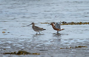 Pair of Bar-tailed godwits (Limosa lapponica) male courting and pursuing female along the sea shore. Langbuness, Varanger fjord, Finnmark, Norway. May.  -  Roger Powell