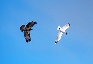 Carrion crow (Corvus corone) pursuing a Mew gull (Larus canus) carrying a  frog  in its beak. Kolvik, Porsanger fjord, Finnmark, Norway, May.  -  Roger Powell