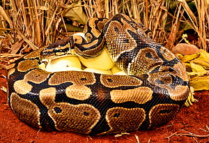 Royal python (Python regius) female with ticks on the side of her head, incubating eggs, Togo. Controlled conditions  -  Daniel  Heuclin