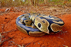 Royal python (Python regius) curled up into a ball, Togo. Controlled conditions  -  Daniel  Heuclin