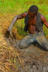 Man catching African lungfish (Protopterus annectens annectens) buried in mud of dried river bed, Togo. - Daniel  Heuclin