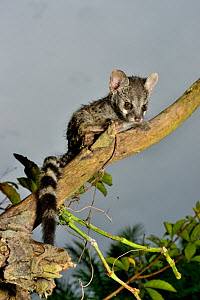 Common genet (Genetta genetta) juvenile in tree, Togo. Controlled conditions. - Daniel  Heuclin