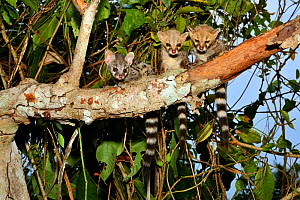 Common genet (Genetta genetta) juveniles in tree, Togo. Controlled conditions. - Daniel  Heuclin